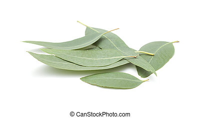 fresh eukalyptus leaves isolated on white background