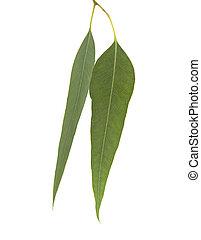 fresh eukalyptus leaves isolated on white background