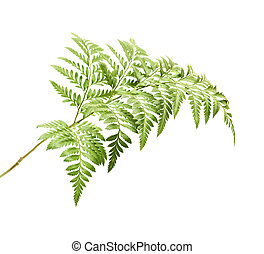 Rumohra adiantiformis, leatherleaf fern leaf isolated on...