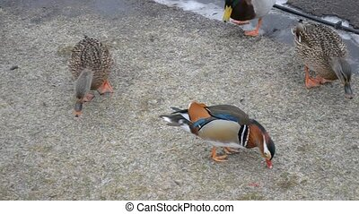 Male mandarin duck walking in Mezhy - Mandarin duck walking...