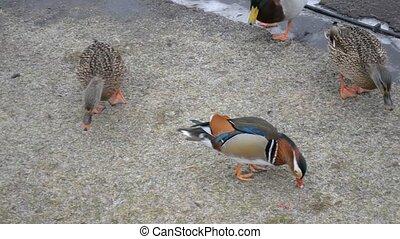 Male mandarin duck walking in Mezhy - Mandarin duck walking...
