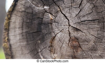 closeup larch wood cut down a big old tree, more than 100...