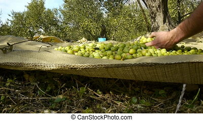 Man collecting ripe green olives