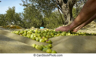 Man harvesting green olives - Young worker collecting green...