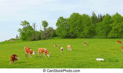 Cows and calves grazing on a field
