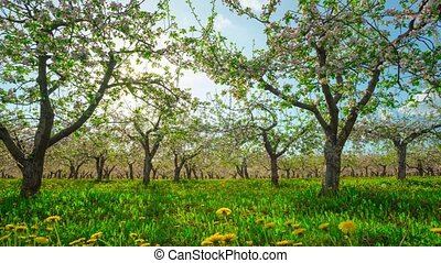Blossoming apple orchard, time-lapse with slider