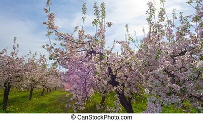 Blossoming apple orchard, time-laps