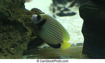 Emperor angelfish in beautifully decorated Marine Aquarium