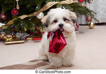 Lhasa apso puppy at Christmas - Cute lhasa apso puppy...