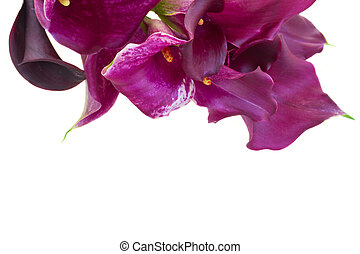 Calla lilly flowers - bunch of violet Calla lilly flowers...