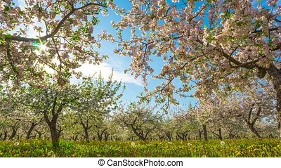 Blossoming apple orchard, time-lapse with crane