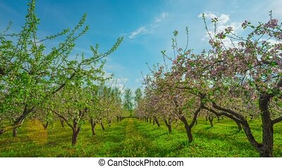 Blossoming apple orchard, panoramic time-lapse
