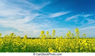 Canola field, timelapse with crane