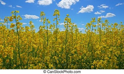 Flowers of rapeseed and sun, view from below