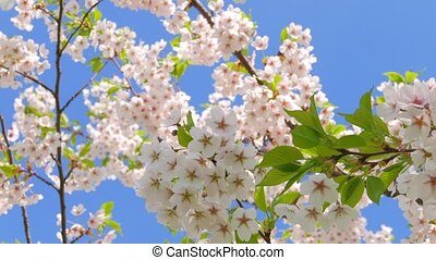 Flowers of Japanese sakura - Flowers of Japanese sakura...