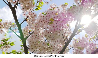 Flowers of Japanese sakura against the blue sky