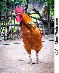 Farmyard Rooster - A rooster strutting around the village...