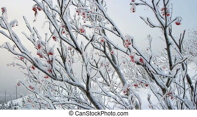 Clusters of rowan berries covered with snow