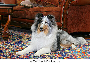 sheltie indoors - Pretty black and white Sheltie laying on a...