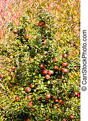 detail of apple tree with red apples