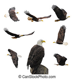 Set bald eagles - Bald eagles isolated on the white...