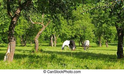 A family of horses graze in the apple orchard