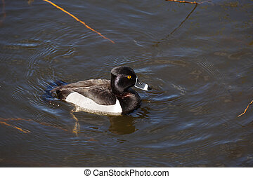 Ring-necked duck drake on water