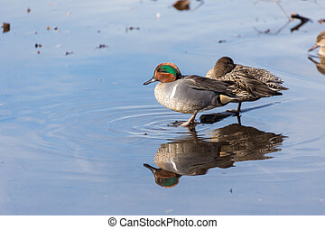 Green-winged Teal in burnaby lake bc