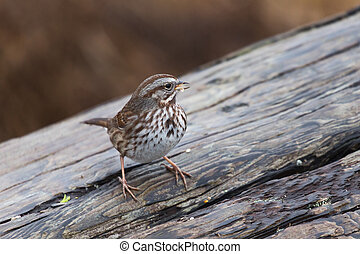 song sparrow close up shot in vancouver Canada