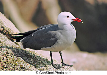 Heermanns Gull - Larus heermanni