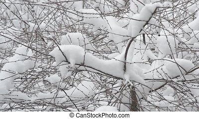 Snow falling on cherry tree branch background - Close-up of...