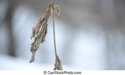 Old dry brown nettle leaf stirred by wind in winter
