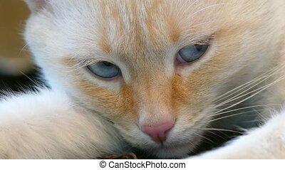 white cat sleeping blue eyes muzzle pet - white cat sleeping...