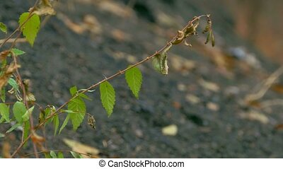 branch elm leaves against the black earth - branch elm...