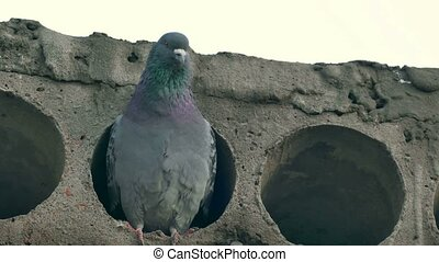 gray wild pigeon bird sitting in a concrete slab looks -...