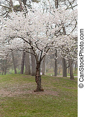 White apple blossoms tree in springtime
