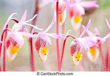 Flowering Fairy Slipper Calypso bulbosa - Fairy Slipper,...