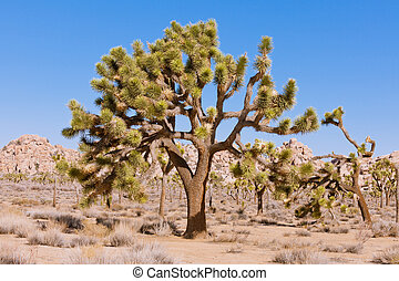 Joshua Tree Yucca brevifolia NP CA US - Beautiful old Palm...