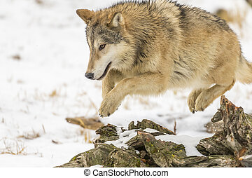 Tundra Wolves - A pack of Tundra Wolves in a snowy Forest...