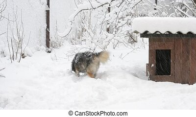 Active dog in snow near kennel runs out of frame - Active...