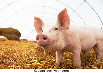 Young piglet at pig breeding farm - One young piglet on hay...