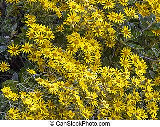 Shrub - Yellow flowering brachyglottis shrub