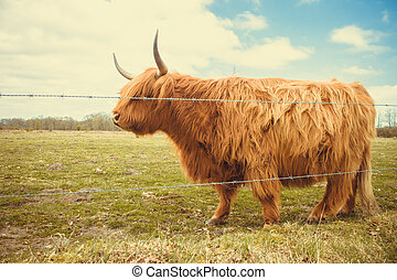 Highland Cow - A highland cow in the fields on a sunny day
