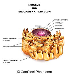Cell Nucleus and Endoplasmic reticulum detailed anatomy with...