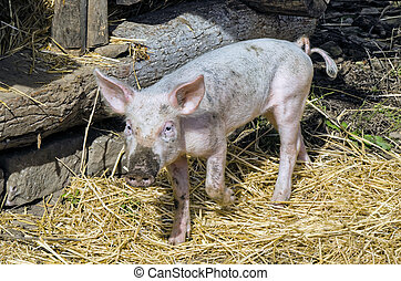 Pig In Pen - Young Pig in his Pen in Barnyard