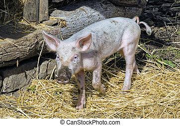 Pig In Pen - Young Pig in his Pen in Barnyard