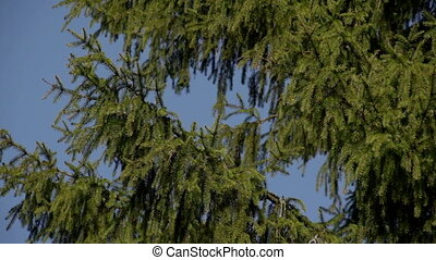 The spruce branches against the blue sky - The first spring...