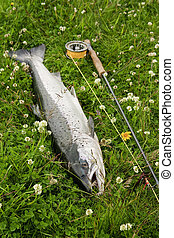Freshly caught atlantic salmon - Large atlantic salmon on...
