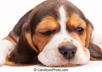 Beagle puppy on white background - Beagle puppy standing on...