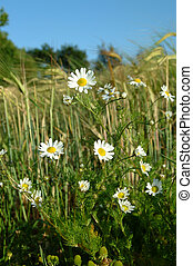 Oxeye daisy - Oxeye daisy in a field or just another...